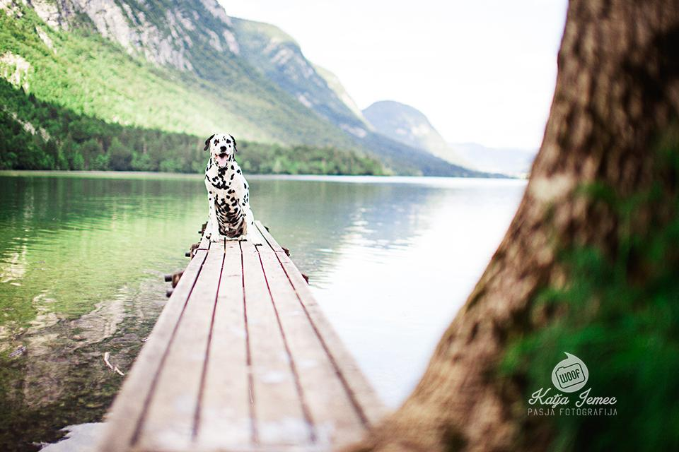 Dalmatinec Dalmatian Dog Photography